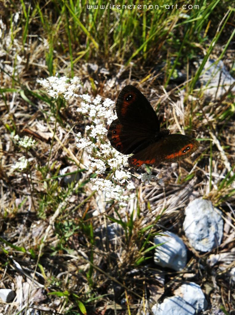 farfalla-montagna