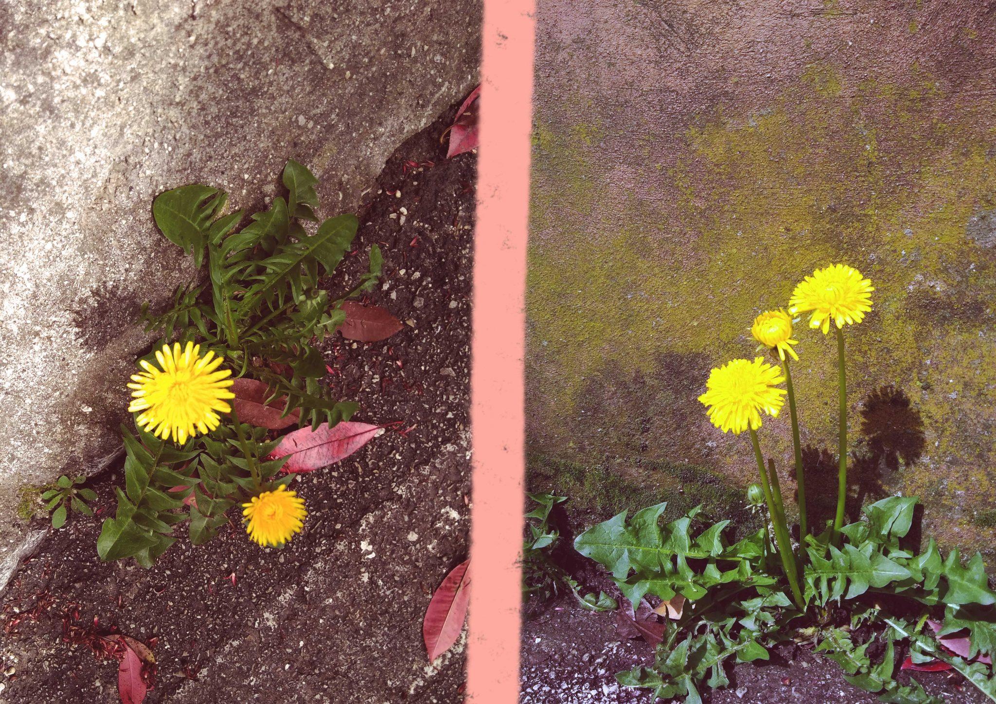 tarassaco, fiori, illustrazione