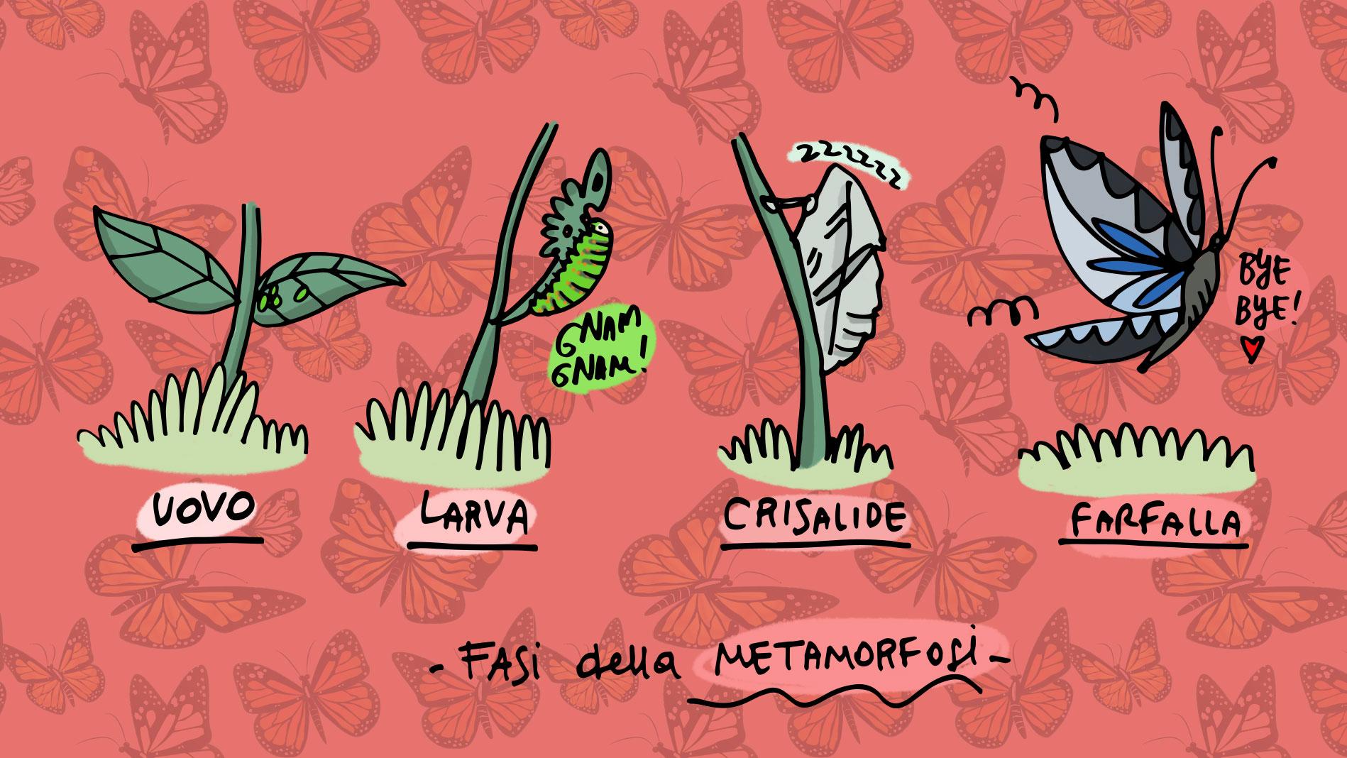 Fasi-metamorfosi-farfalla